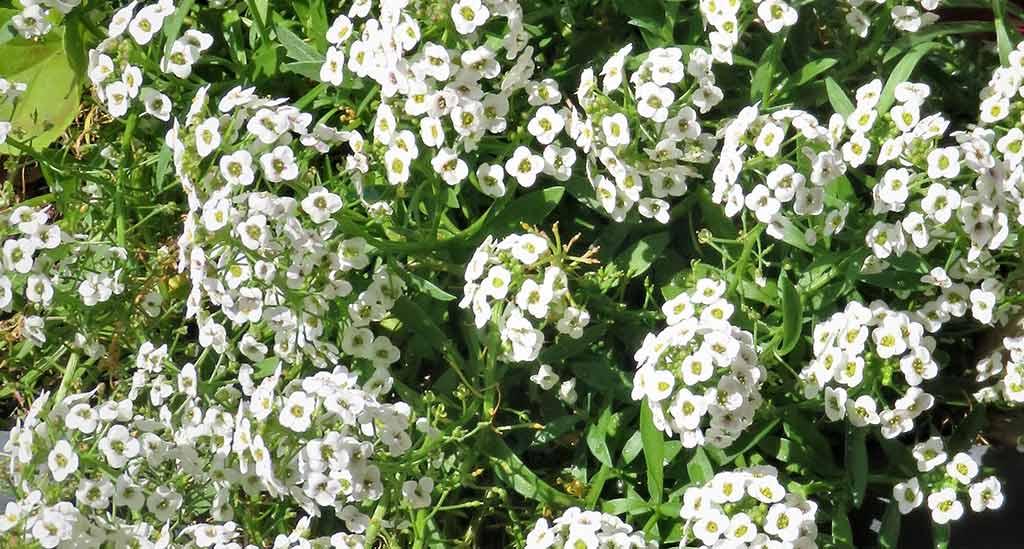 Alyssium ou flor de mel