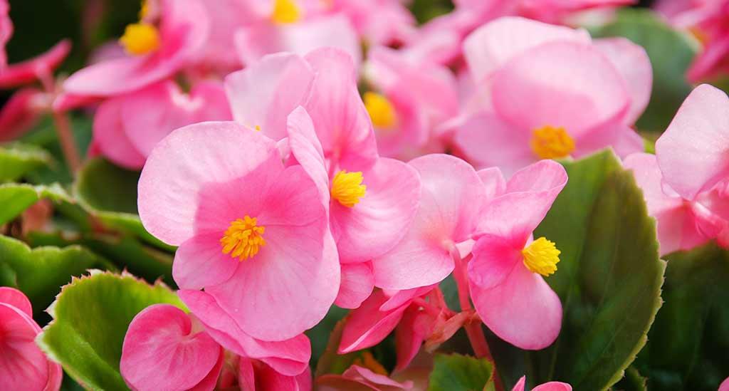 Exemplos de flores comestíveis: begónias