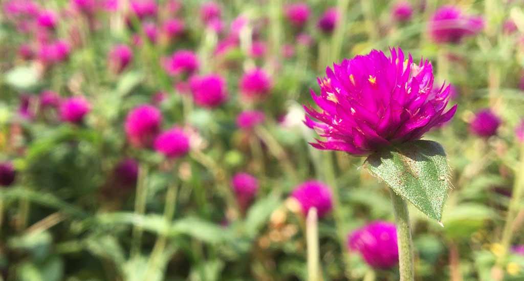 Exemplos de flores comestíveis: perpétuas